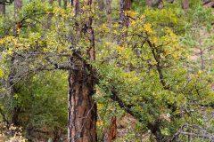 Oak Leaves on Pine Tree Trunk