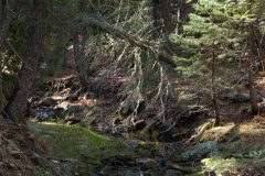 Creek in Pine Forest