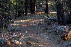Arizona Trail in Pine Forest