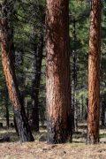 Ponderosa Pine Tree Trunks
