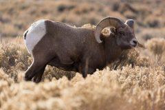 Bighorn Sheep Ram in Sagebrush