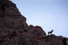 Bighorn Sheep Ram on Cliff