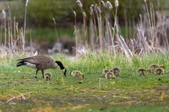 Canada Goose and Goslings in Grass