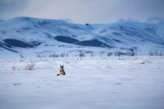 Coyote Sitting in Open Field