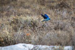 Bluebird Flying in Sagebrush