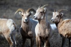 Young Bighorn Sheep Rams