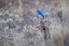 Rocky Mountain Bluebird on Sagebrush