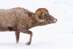 Bighorn Sheep Ram Following Scent