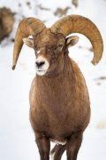 Bighorn Sheep Ram with Broken Horn