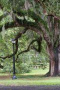 Oak Tree Above Light Fixture