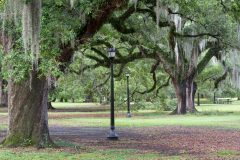 Oak Trees and Moss Above Picnic Area