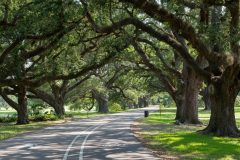 Oak Trees Above Path