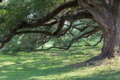 Oak Tree Branches Touching Ground