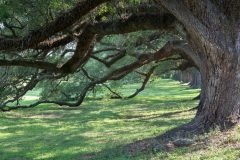 Row of Large Oak Trees