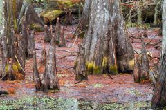 Swamp and Cypress Tree Trunks
