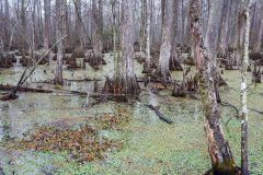 Swampy Marsh and Cypress Trees