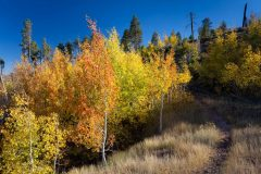Fall Aspens Along Arizona Trail