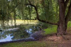 Willow Tree Above Pond