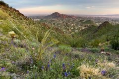 Wildflowers in the Phoenix Mountains
