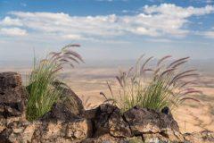 Fountaingrass in Rocks