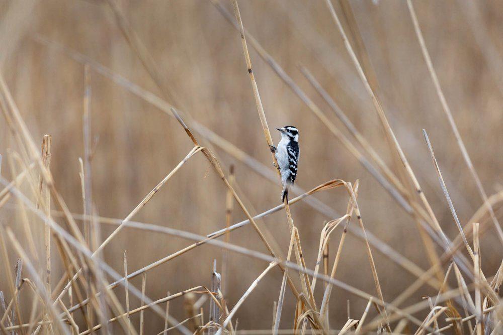Downy Woodpecker in Marsh Grasses