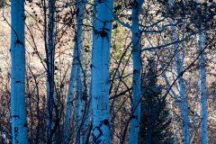 Aspen Trees in Shade