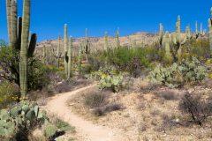 Forest of Saguaro Cactus