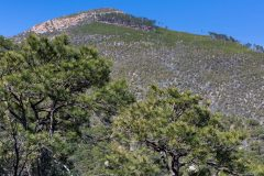 Ponderosa Pine Trees in Sky Island