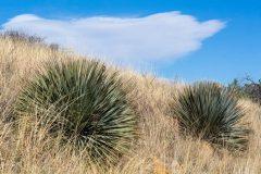 Yucca in Desert Grasslands