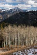 Bare Aspen Trees Below Taylor Mountain