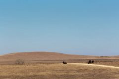 Resting Bison Along Trail