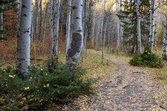 Fall Leaves on Aspen Trail in Aspen Grove