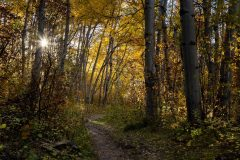 Sun Shining Through Fall Aspen Trees