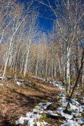 Bare Aspen Trees Along Aspen Trail
