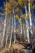 Autumn Aspen Trees Above Trail