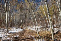 Aspen Trail in Late Fall Aspen Trees