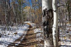 Aspen Tree Trunks Along Trail