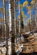 Tall Aspens Lining Aspen Trail