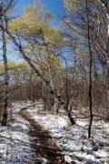 Windswept Aspens Above Aspen Trail