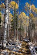 Golden Aspens Rising Above Aspen Trail