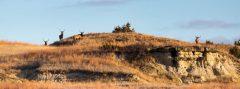Bull Elk on Hill