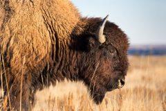 Bison Walking Closeup