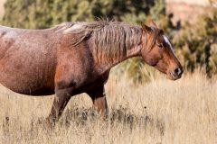 Walking Mustang in Grass