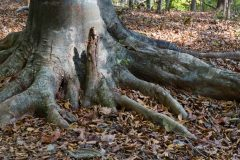 Roots of a Hickory Tree
