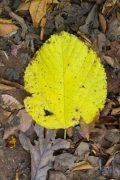Fall Leaf on Ground