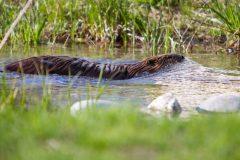 Beaver Swimming in Creek
