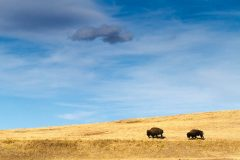 Bison Walking Over Prarie Hills