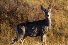 Alarmed Mule Deer Doe