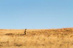 Solitary Prairie Dog on Grassland