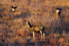 Mule Deer on Grassy Hill